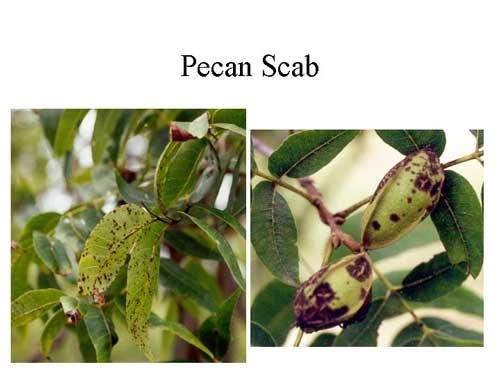 pecan nut diseases